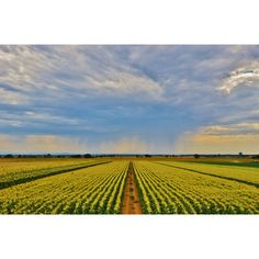 Color photo of a Summer Storm, California Farmlands, Corn Fields, Rain... ($25) ❤ liked on Polyvore featuring home, home decor, wall art, landscape wall art, photography wall art, photo wall art, paper wall art and photographic wall art