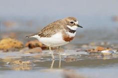 Double-banded Plover (Charadrius bicinctus), known as the Banded Dotterel in New Zealand, is a small  wader in the plover family of birds. It lives in beaches, mud flats, grasslands and on bare ground. Two subspecies are recognised, the nominate (Charadrius bicinctus bicinctus) breeding in New Zealand and the Chatham Islands and (Charadrius bicinctus exilis) breeding in the Auckland Islands.