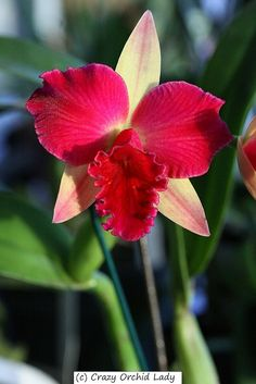 Crazy Lady Orchid Cattleya | Cattleya Fire Magic 'Solar Flare'