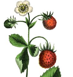 This is a Beautiful Vintage Strawberry Plant Image!! Featured here is a lovely picture of a Strawberry plant, with 3 Cute Berries and a white Flower on it!