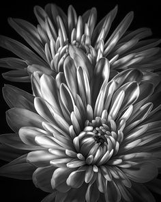Petaled Black - Soft Floral Petals Curve Upwards Arising From The Stark Black From An Abstact Vantage Point