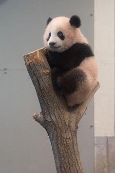 今日のパンダ(2020日目)