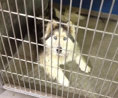 MAYA - ID#A3560177  http://www.petharbor.com/pet.asp?uaid=LACO3.A3560177  My name is Maya and I am described as a spayed female, white and gray Siberian Husky    The shelter thinks I am about 6 years old.  Lancaster at (661) 940-4191  I have been at the shelter since Jan 18, 2013.