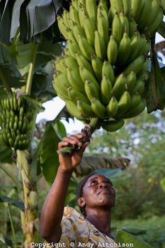 Uganda farmer examines her plantain (motoke or banana) crop