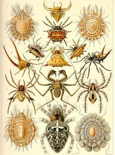 Cette habile et diligente ouvrière, aux pattes longues et effilées, s'élève le long du fil qu'elle a créé. Le fil produit par l'araignée n'a pas d'égal en légèreté et en solidité et les sucs qui lui servent à tisser sa toile sont abondants et ne s'épuisent jamais... zimzimcarillon.canalblog.com | Kunstformen der Natur, 1904 - Arachnides par Ernst Haeckel