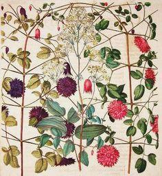 Basilius Besler - Hortus Eystettensis - 1613