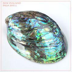 天然ニュージーランドパウアシェル