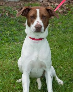 DogsInDanger West Virginia Trista is approx 2yo....we completed all vetting..super intelligent and sweet.
