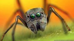 Fotógrafo indonésio registra closes coloridos de aranhas-Algumas espécies de aranhas saltadoras são muito parecidas com formigas e se camuflam dessa forma. As grandes quelíceras são pinças usadas para cortar a comida. (Crédito: Roni Hendrawan)