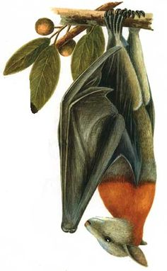Grey-headed Flying-fox by Neville W. Cayley taken from the Australian National Botanic Gardens Murcielago Animal, Bat Images, Fruit Bat, Australian Animals, Science Art, Natural History, Beautiful Creatures, Pet Birds, Art History