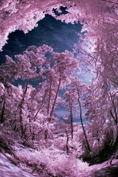 Overhead In Bessho Onsen Forest. White trees look like snow drifting down from a perfectly pink sky. Mauve melts into fuchsia and purple in a magnificent example of color in nature. All Nature, Amazing Nature, Beautiful World, Beautiful Images, Mother Earth, Mother Nature, Infrared Photography, To Infinity And Beyond, Jolie Photo
