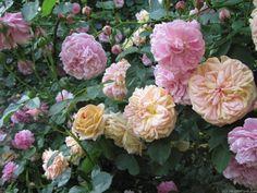 'Lavender Lassie ' Rose Photo