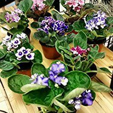 African Violets are house plants with showy blooms & velvety leaves. They are often found during the holidays. These tips will show how to care for them.
