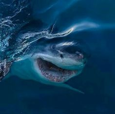 The great white shark! Here's an amazing capture of a great white shark about to break through the surface! Amazing!!!