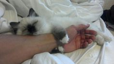 This is my sister's new ragdoll kitten - Imgur