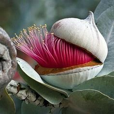 Olha que impressionante! natureza plantas eucalyptus Reposted from I love these striking eucalyptus! The bud flower and seedpod are equally spectacular! Photo Earths Beauty is part of Exotic flowers -