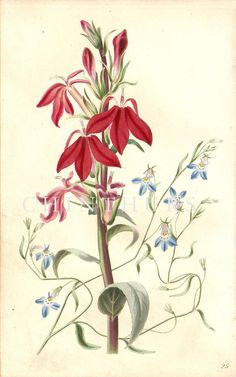 CARDINAL FLOWER OR LOBELIA, AND BLUE LOBELIA. Louisa Anne Twamley. Chromolithograph from 'The Romance of Nature'. 1836