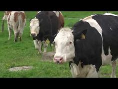 No, I'm not a vegetarian. But I LOVE animals & watching these cows.. so happy and loving being outside & FREE just makes me smile... I LOVE IT! ♥