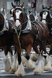 The Clydesdale is a breed of draught horse derived from the farmhorses of Clydesdale Scotland, and named after that region. ~ The Clydesdale Family All The Pretty Horses, Beautiful Horses, Animals Beautiful, Cute Animals, Beautiful Babies, Caballos Clydesdale, Clydesdale Horses Budweiser, Horse Caballo, Especie Animal