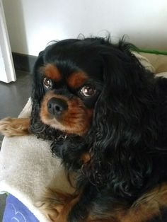 The Cavalier King Charles Spaniel is a direct descendant of the King Charles Spaniel and is named after King Charles II. King Charles Puppy, Cavalier King Charles Dog, King Charles Spaniel, Cavalier King Spaniel, Puppy Names, Poodle Mix, Animal Fashion, Dog Love, Animals And Pets