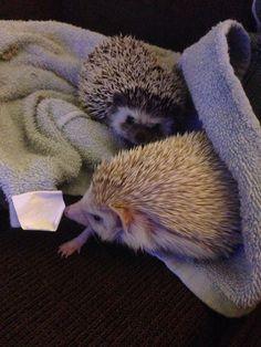 Hedgehogs Reggie and cinnamon