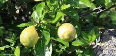 Reife Zitronen und gleichzeitig die Blüte für die nächste Frucht. #Mala #Lanzarote #IslasCanarias #AppLanzarote2GO