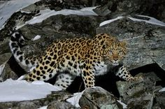 As few as 70 critically endangered Amur leopards are left in the wild, due to habitat destruction and human-wildlife conflict.