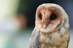 fairy-wren:    mellanistic barn owl  (photo by leilockheart)