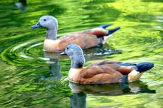 Ducks, Emerald Pond. by MaiGrove