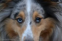 "Yin-dee Abby Special Princess ""Abby"" - our blue merle Shetland Sheepdog (Sheltie) - Blue eyes - Special Princess"