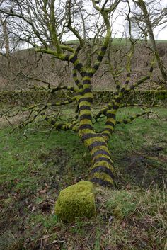 Andy Goldsworthy painted bands onto a tree with mud he collected from a nearby bog. Dumfriesshire, Scotland
