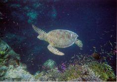 Sea turtle. Borneo.