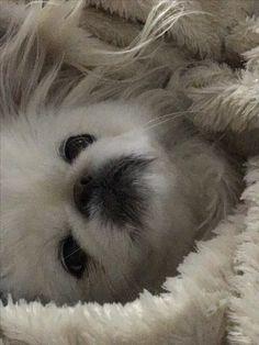 Isabella, snug as a bug in a rug... #Pekingese