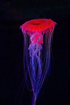 Jellyfish. IMG_9926-1.jpg | Jellyfish | David Freuthal | Flickr