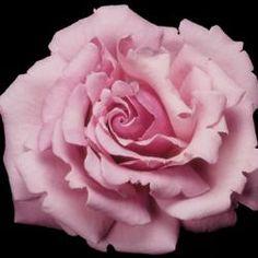 Memorial Roses | Star Roses & Plants