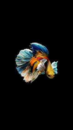 Og:Multicoloured Betta fish (have u ever seen a fish, damn these are some fine coloured boys) Fish Wallpaper, Animal Wallpaper, Colorful Fish, Tropical Fish, Freshwater Aquarium, Aquarium Fish, Fish Background, Betta Fish Types, Carpe Koi