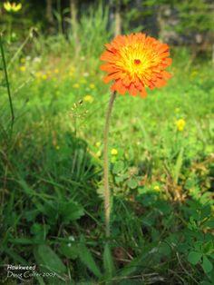 Orange hawkweed (Hieracium aurantiacum) • Family: Aster (Asteraceae)  • Habitat: fields, roadsides • Height: 8-24 inches • Flower size: head is 3/4 inch across • Flower color: orange • Flowering time: June to August