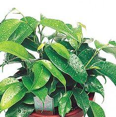 Ficus benjamina 'Tropical Rainforest'