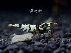 TiBee Shrimp - Storm Trooper Shrimp =)