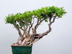 pics of ficus bonsai | bild ein feigenbaum bonsai ficus bonsai als indoor bonsai