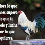 Imagenes De Gallos De Pelea Con Frases Positivas Para Reflexionar Beautiful Chickens, Beautiful Birds, Game Fowl, Amor Animal, Game Birds, Animal Sculptures, Hens, Animals, Motivational