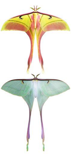Actias dubernardi...like a dream, these butterflies are unimaginably, beautifully surreal...
