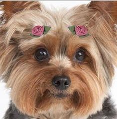 cuter without the roses.  My yorkie makes this face sometimes, cracks me up.