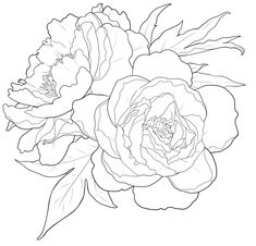 This is not a vector drawing. Vector drawings have closed paths. Peony Drawing, Peony Painting, Fabric Painting, Drawing Flowers, Peonies And Hydrangeas, Peonies Garden, Peonies Bouquet, White Peonies, Flowers Garden