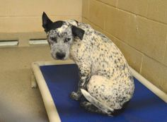 URGENT - TAG 276 MALE BLUE HEELER RELEASE DATE 4/12/14  More info or Adoption/Rescue interest, please email: animal.shelter@clevelandcounty.com  About C.A.R.E.: https://www.facebook.com/notes/cliffords-army-rescue-extravaganza/what-this-page-is-about/575386392496540  Cleveland County Animal Control 1609 Airport Rd, Shelby, NC 28150 https://www.facebook.com/photo.php?fbid=669656696402842&set=a.663474470354398.1073742149.285283128173536&type=3&theater