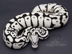 New Stormtrooper pattern Ball Python created | Swell Reptiles