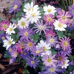 Anemone Blanda 50 Bulbs Vibrant coloured Anemone BlandaThis long-established favourite, is perfect for containers and will be a delight anywhere in your garden.With delicate daisy like flowers this is a really pretty plant. http://www.MightGet.com/january-2017-11/anemone-blanda-50-bulbs.asp