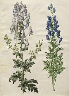 Aconitum veriegatum; Aconitum napellus, KKSgb2950/15