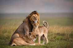 Viaja a #Kenya para poder visitar la reserva natural de Masai Mara, un gran núcleo de especies salvajes como leones, tigres, guepardos, rinocerontes, hipopótamos y mucho más.   http://www.felicesvacaciones.es/ofertas-viajes-baratos/masai-mara/