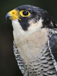 Peregrine Falcon http://animals.nationalgeographic.com/animals/photos/birds-of-prey-photos/